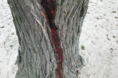 Blutbaum-3